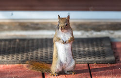 Endearing, springtime Red squirrel, close up,  Standing up on a deck, paws tucked to chest. Royalty Free Stock Photo