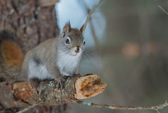 Endearing Springtime Red squirrel on a pine branch.  Quick little woodland creature running up & down woodland trees. Fiery orange stripe on this small Red Royalty Free Stock Photography