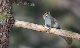 Endearing Springtime Red squirrel on a pine branch.  Quick little woodland creature running up & down woodland trees. Fiery orange stripe on this small Red Royalty Free Stock Photo