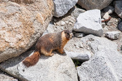 Endearing yellow-bellied marmots. Inquisitive and usually unafraid of humans, the park& x27;s biggest rodents inhabit Yosemite& x27;s high country, usually at Royalty Free Stock Images
