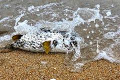 Endecha de los pescados del fumador del mar muerta en la costa foto de archivo libre de regalías