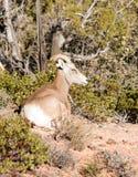 Endechas alpinas de la cabra de montaña del animal salvaje que descansan el alto bosque imagen de archivo libre de regalías