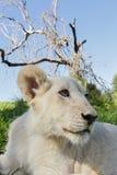 Endechas del cachorro de león entre la hierba imagenes de archivo