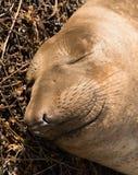 Endechas salvajes del mamífero del sello de elefante que descansan la costa del Océano Pacífico Fotos de archivo