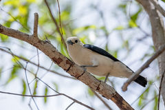 Endemic bird white-headed vanga Madagascar. Endemic bird white-headed vanga Artamella viridis is a species of bird in the family Vangidae, Ankarafantsika stock photo