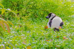 Endemic Black-and-white ruffed lemur (Varecia variegata subcinct Royalty Free Stock Photography