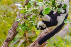 Endemic Black-and-white ruffed lemur (Varecia variegata subcincta) at the open zoo stock photo