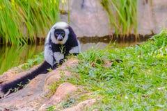 Endemic Black-and-white ruffed lemur (Varecia variegata subcincta) at the open zoo stock images