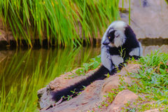 Endemic Black-and-white ruffed lemur (Varecia variegata subcincta) at the open zoo royalty free stock photo