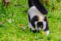 Endemic Black-and-white ruffed lemur (Varecia variegata subcincta) at the open zoo stock image
