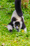 Endemic Black-and-white ruffed lemur (Varecia variegata subcinct Royalty Free Stock Image