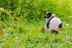 Endemic Black-and-white ruffed lemur (Varecia variegata subcincta) at the open zoo royalty free stock photography