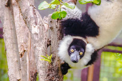 Endemic Black-and-white ruffed lemur (Varecia variegata subcinct Stock Photos