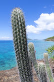 Endemic Caribbean cactus of Isla Culebra Royalty Free Stock Photography