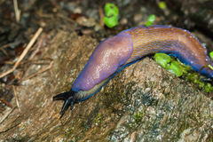 Endemic Carpathian blue slug (Bielzia coerulans). Moves on moss litter in coniferous forest royalty free stock photography