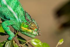 Endemic chameleon pose. Endemic chameleon looking for a quarry in Madagascar Stock Photos