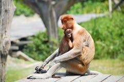 Endemic del mono de probóscide de la isla de Borneo en Malasia foto de archivo
