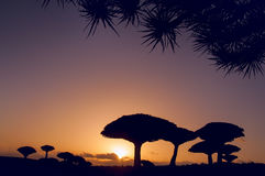 Endemic Dragon Tree. Endemic rare plants of the planet. Huge dragon trees silhouettes against the sunset at dusk. Yemen. Socotra. Huge crown in the form of royalty free stock image