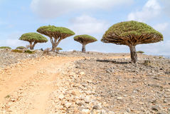 Endemic Dragon tree of Socotra Island. On Yemen royalty free stock photography