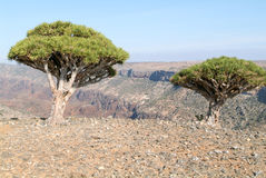 Endemic Dragon tree of Socotra Island. On Yemen stock photography