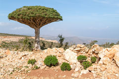 Endemic Dragon tree of Socotra Island. On Yemen stock photos
