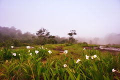 Endemic flowers in the mist of misty forest. Endemic flowers on the ground in the mist of misty forest, Thailand royalty free stock image