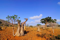 Endemic forest on the Socotra island. Endemic trees of Socotra Island, Yemen Royalty Free Stock Photography