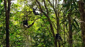 Endemic Indri lemur in natural habitat. also called the babakoto, is the largest lemurs of Madagascar. Wildlife concept stock photos