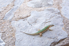 Endemic lizard Stock Images