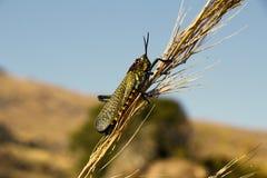 Endemic Madagascar Locust, Phymateus saxosus in Isalo Stock Image