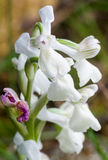 Endemic Mesiterranean Orchis Flowers from Sardinia Isle Royalty Free Stock Image