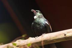 Endemic New Zealand Bird Tui. Native New Zealand bird Tui, prosthemadera novaeseelandiae, warming in sun Stock Photo