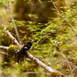 Endemic NZ bird Tomtit, Petroica macrocephala Stock Image