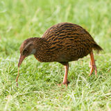 Endemic NZ bird Weka pulling a worm off the ground Royalty Free Stock Images