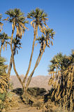 Endemic palms in desert near Eilat, Israel Royalty Free Stock Images