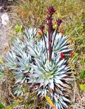 Endemic plant from Mount Roraima royalty free stock image