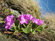 Endemic plant (Primula hirsuta). Primula hirsuta grows in the Alps and Pyrenees at heights up to 12000 feet Stock Images