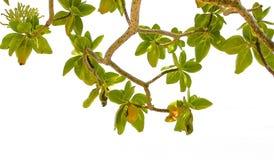 Endemic plants Similan Islands Royalty Free Stock Photo