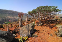 Endemic plants on the Socotra island. Endemic of Socotra Island, Yemen stock photo