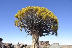Endemic Quiver-tree forest in Namibia stock images
