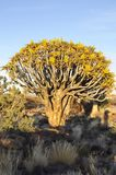 A endemic Quiver-tree forest in South-Namibia. Endemic Quiver-tree Aloe dichotom, kokerboom forest near Keetmanshoop in South-Namibia stock images
