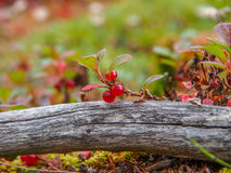 Endemic and rare strawberry royalty free stock photography