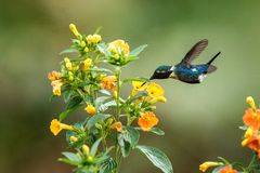 Endemic Santa Marta woodstar hovering next to yellow flowers in garden,hummingbird with outstretched wings,Colombia,bird,clear bac. Kground,nature scene,wildlife stock photo