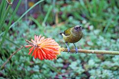 Endemic bellbird Royalty Free Stock Images