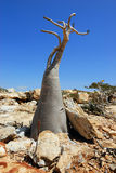 Endemic of Socotra Island Royalty Free Stock Photography