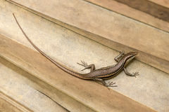 Endemic species also called seychelles skink or Mabuya. Trachylepis Seychellensis endemic species also called seychelles skink or Mabuya Royalty Free Stock Photos