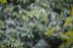 Endemic spider at Reunion Island Stock Images