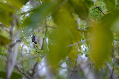 Endemic spider at Reunion Island Royalty Free Stock Photo