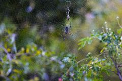 Endemic spider at Reunion Island Stock Photo
