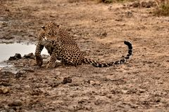 Hunters are hunters ,leopard in srilanka. endemic night`s working properly.the swallow of the sweat the water is over. Endemic in sri lanka Leopard.spread meat stock images